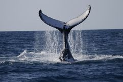 Baleine observant le Queensland Images libres de droits