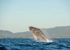 Baleine ouvrant une brèche 4 Images libres de droits