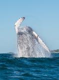 Baleine ouvrant une brèche 3 Photographie stock