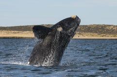 Baleine, Patagonia, Argentine Photos libres de droits