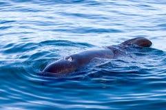 Baleine pilote Photos libres de droits