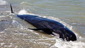 Baleine pilote morte à la broche d'adieu, Nouvelle-Zélande photo libre de droits