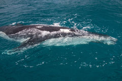 Baleine regardant la visionneuse Photo stock