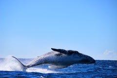 Baleine sautante Image stock