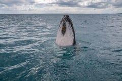 Baleine spyhopping Image libre de droits