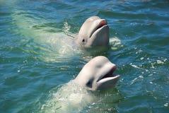 Baleines blanches Photo libre de droits