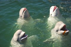 Baleines blanches Images stock