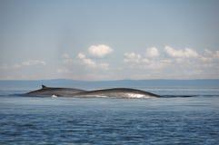 Baleines d'ailette, le fleuve StLaurent, Québec (Canada) Image libre de droits