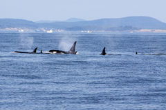 Baleines d'orque Images stock