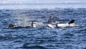 Baleines d'orque Photo libre de droits