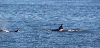 Baleines d'orque chez le San Juan Islands donnant la chasse Photos stock