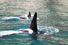 Baleines d'orque dans le compartiment de résurrection (Alaska) Images libres de droits