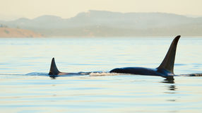 Baleines d'orque de tueur nageant. Photos stock