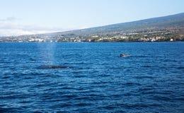 Baleines dans Kona, Hawaï Images libres de droits