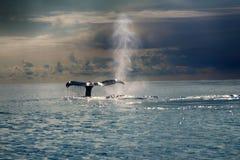 Baleines dans l'océan pacifique Images stock