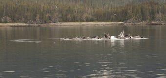 Baleines de alimentation de bulle, Tom Wurl Image stock