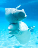 Baleines de beluga Photo libre de droits