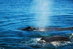 Baleines de médisance Photos stock