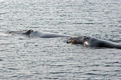 Baleines droites Photo stock