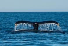 Baleines nageant dans l'Océan Atlantique image libre de droits