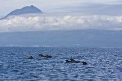 Baleines pilotes Photos libres de droits