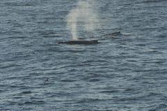 Baleines repérées dans l'eau Photo stock