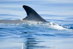 Balena Fotografie Stock Libere da Diritti
