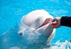 Balena amichevole del beluga fotografie stock