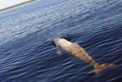 Balena bianca Fotografie Stock