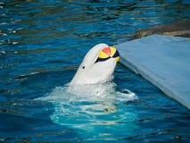 Balena bianca Immagini Stock