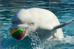 Balena bianca Fotografia Stock