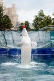 Balena bianca addestrata in un delphinarium Fotografie Stock