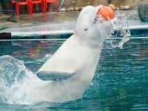 Balena bianca in un delphinarium Immagini Stock Libere da Diritti