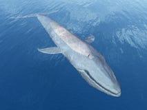 balena blu illustrazione di stock