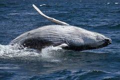 Balena del bambino Immagini Stock Libere da Diritti