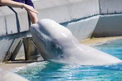 Balena del beluga Immagini Stock