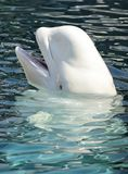 Balena del beluga Immagine Stock Libera da Diritti