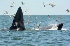 Balena del Bryde Immagini Stock