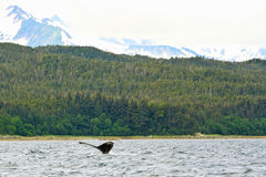 Balena dell'Alaska nel periferico selvaggio fotografia stock