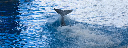 Balena dell'orca Immagine Stock Libera da Diritti