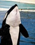 Balena di assassino Immagini Stock Libere da Diritti