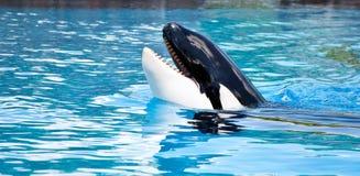 Balena di assassino Fotografia Stock Libera da Diritti