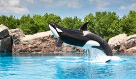 Balena di assassino Immagine Stock