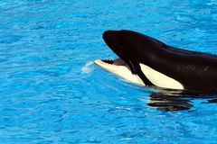 Balena di assassino Fotografia Stock