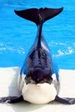 Balena di assassino Immagini Stock