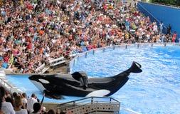 Balena di assassino al mondo Orlando del mare fotografia stock libera da diritti