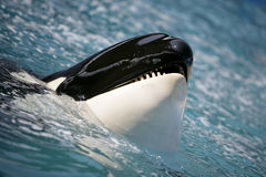 Balena di assassino che ha divertimento nell'oceano Fotografia Stock