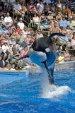 Balena di assassino di Shamu Fotografia Stock Libera da Diritti