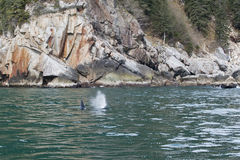 Balena di assassino in oceano Immagine Stock