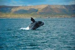 Balena di destra del sud Fotografie Stock Libere da Diritti